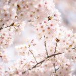 荒川区役所前の荒川公園では桜が満開!区役所北庁舎前のオオシマザクラも必見ですよ #地域ブログ #荒川区 #Locketsリレー2018春
