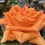 都電荒川線(東京さくらトラム)の町屋駅前から荒川七丁目の間のバラの花が少しずつ咲き始めました(2018年4月27日撮影) #地域ブログ #荒川区のはなし #荒川区