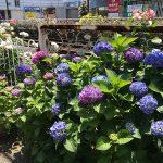 都電荒川線(東京さくらトラム)の町屋駅前電停付近ではバラと紫陽花のコラボレーションが見られます! #地域ブログ #荒川区のはなし #荒川区