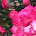 荒川区内の都電荒川線(東京さくらトラム)沿線のどこでバラが見られるのか? #地域ブログ #荒川区のはなし #荒川区