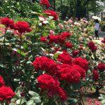 都電荒川線(東京さくらトラム)の荒川二丁目停留所周辺のバラが最高に美しい! #地域ブログ #荒川区のはなし #荒川区