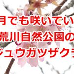 荒川自然公園のジュウガツザクラ(十月桜)は1月でも花が咲いていた! #地域ブログ #荒川区のはなし #荒川区