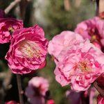 荒川区内でも梅の花が咲き始めました~ゆいの森あらかわの隣のマンションの梅~ #地域ブログ #荒川区のはなし #荒川区