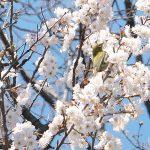 荒川区役所前にある荒川公園で「梅にメジロ」を撮影してみた #地域ブログ #荒川区のはなし #荒川区
