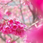 町屋七丁目児童遊園の寒緋桜が見頃を迎えています #地域ブログ #荒川区のはなし #荒川区