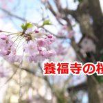 荒川区西日暮里にある養福寺の桜 #地域ブログ #荒川区のはなし #荒川区