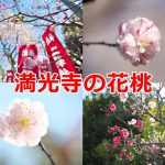 荒川区東尾久の満光寺ではみごとな花桃が咲いていました #地域ブログ #荒川区のはなし #荒川区