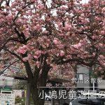 【荒川区の動画】西日暮里にある小鳩児童遊園の八重桜 #地域ブログ #荒川区のはなし #荒川区 #荒川区の動画 #桜