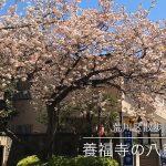 【荒川区の動画】西日暮里にある養福寺の八重桜が圧巻の迫力で満開になっています #地域ブログ #荒川区のはなし #荒川区 #荒川区の動画 #桜