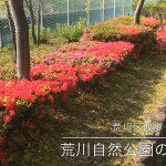 【荒川区の動画】荒川自然公園のつつじの花が咲き始めています! #地域ブログ #荒川区のはなし #荒川区 #荒川区の動画