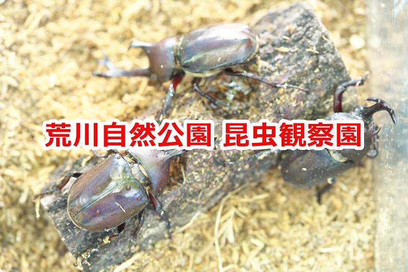 荒川自然公園内にある昆虫観察園ではカブトムシが見られる! #地域ブログ #荒川区のはなし #荒川区