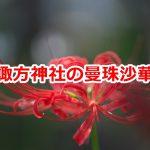 荒川区西日暮里にある諏方神社の曼珠沙華を見に行こう! #地域ブログ #荒川区のはなし #荒川区