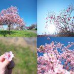 南千住の汐入公園へ春の景色を探しに行こう #地域ブログ #荒川区のはなし #荒川区