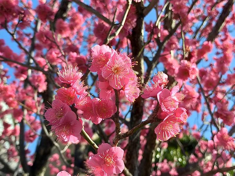 東尾久の満光寺で梅が満開(2020年2月5日撮影) #地域ブログ #荒川区のはなし #荒川区
