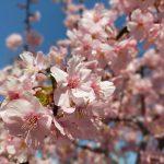 荒川区役所がある荒川公園の河津桜が見頃を迎えました(2020年版) #地域ブログ #荒川区のはなし #荒川区