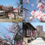東京都荒川区南千住にある素盞雄神社(すさのおじんじゃ)では桃の花が見頃に
