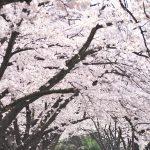 令和2年(2020年)3月27日(金)、28日(土)に開催予定だった三河島水再生センターのさくら鑑賞会はコロナウイルス感染症拡大防止の観点から中止 → せっかくなので過去の桜を見て春気分を楽しんじゃおう #地域ブログ #荒川区のはなし #荒川区