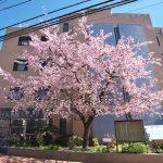 特別養護老人ホーム 花の木ハイム荒川の桜が満開で見頃を迎えました