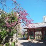 西日暮里にある養福寺のカンザクラ(2020年版) #地域ブログ #荒川区のはなし #荒川区
