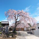 東京都台東区谷中にある長明寺のシダレザクラが見頃を迎えました(2020年版) #地域ブログ #荒川区のはなし #荒川区