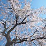 荒川区東尾久にある満光寺のシダレザクラが見頃を迎えました(2020年版) #地域ブログ #荒川区のはなし #荒川区