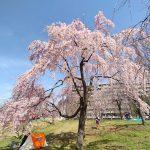 尾久の原公園のシダレザクラが咲き始めました