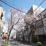 冠新道の桜並木はもうすぐ見頃になります