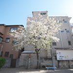東京都台東区根岸にある御行の松不動尊のオオシマザクラが見頃