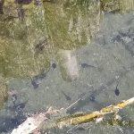 荒川自然公園の白鳥の池におたまじゃくしが大量発生中 そしてコイが・・・