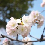 尾久八幡神社の桜の見頃はまだまだ先