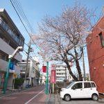 はっぴーもーる熊野前商店街の入り口にある荒川年金事務所の桜