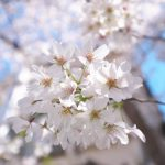 東京都荒川区にある区立荒川五丁目児童遊園の桜がほぼ見頃