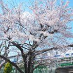 常磐線三河島駅脇にある桜が見頃を迎えています