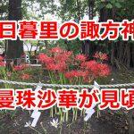 西日暮里の諏方神社で曼珠沙華が咲きました!赤い妖しげな美しい花を御覧ください