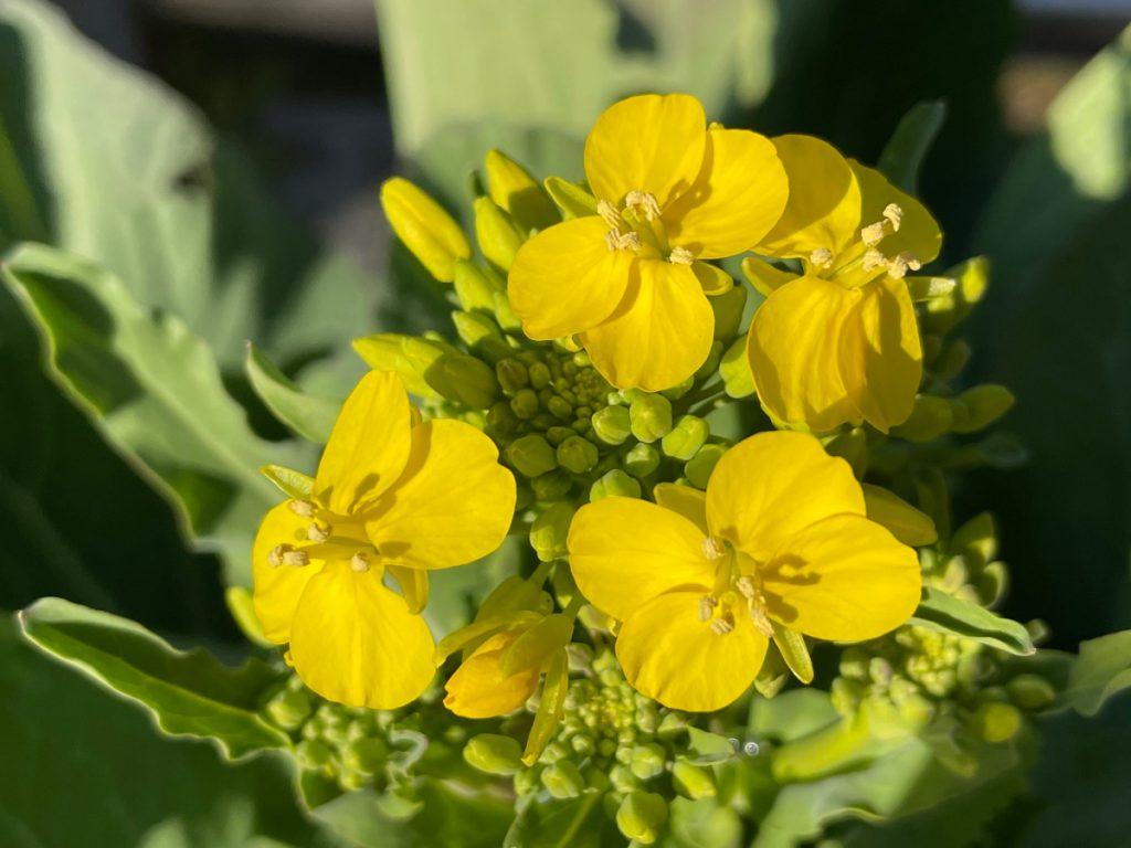 三河島菜の花