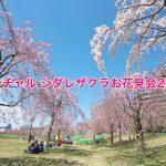 2021年の尾久の原公園のシダレザクラはオンラインで楽しもう!「バーチャル シダレザクラお花見会2021」が開催