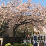 西日暮里にある養福寺の八重桜が伐採されていました
